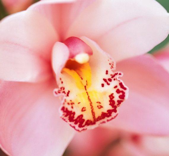 Клиторът. Любовта и сладостта на Венера…